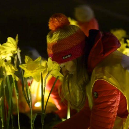 Person Planting Daffodils
