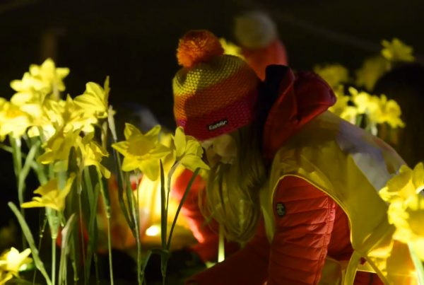 Person Planting Daffodils